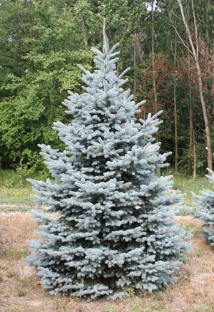 Colorado spruce tree mature height