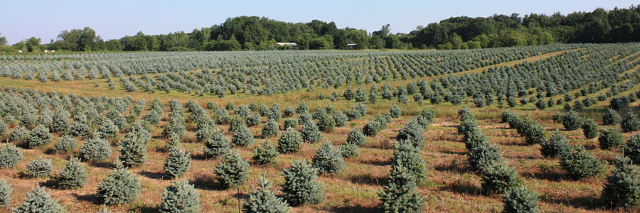Baby Blue Colorado Spruce field