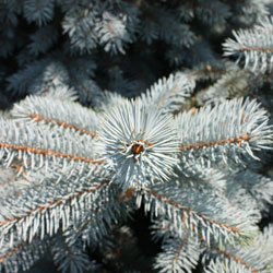 Baby Blue Colorado Spruce Foliage
