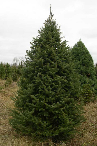 Balsam fir good wholesale coniferous landscaping for Small sized evergreen trees