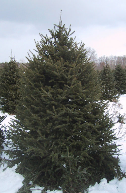 Of west virginia and are very similar to balsam fir and fraser fir