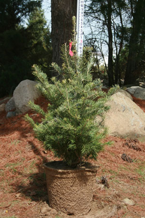 Concolor Fir 24 Inch Potted