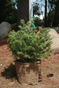 Concolor Fir 30 Inch Potted