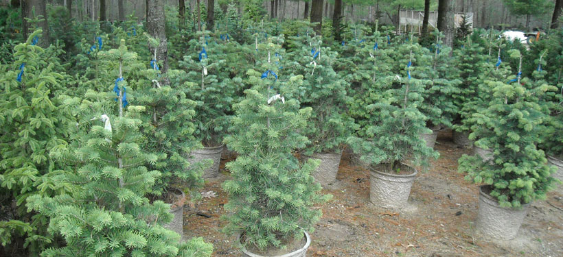 Concolor Fir Potted Stock